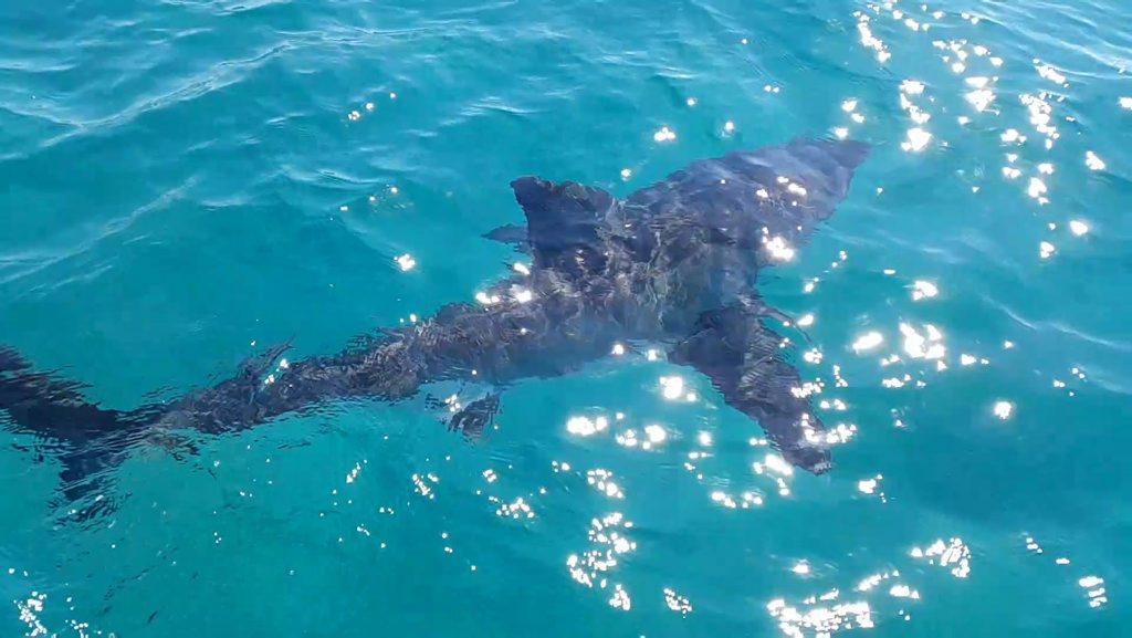 A shark spotted off Cabarita last week.