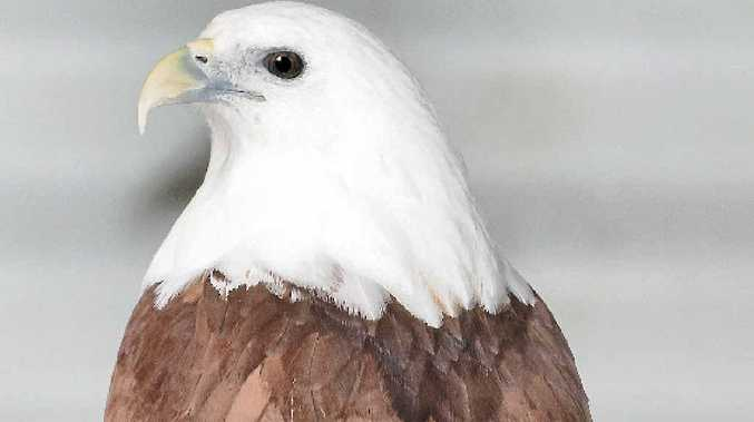 The search is on for the person who shot a native and protected Brahminy kite, resulting in the bird having to be euthanised at the weekend.