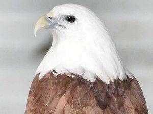 Protected Brahminy kite found shot, euthanised