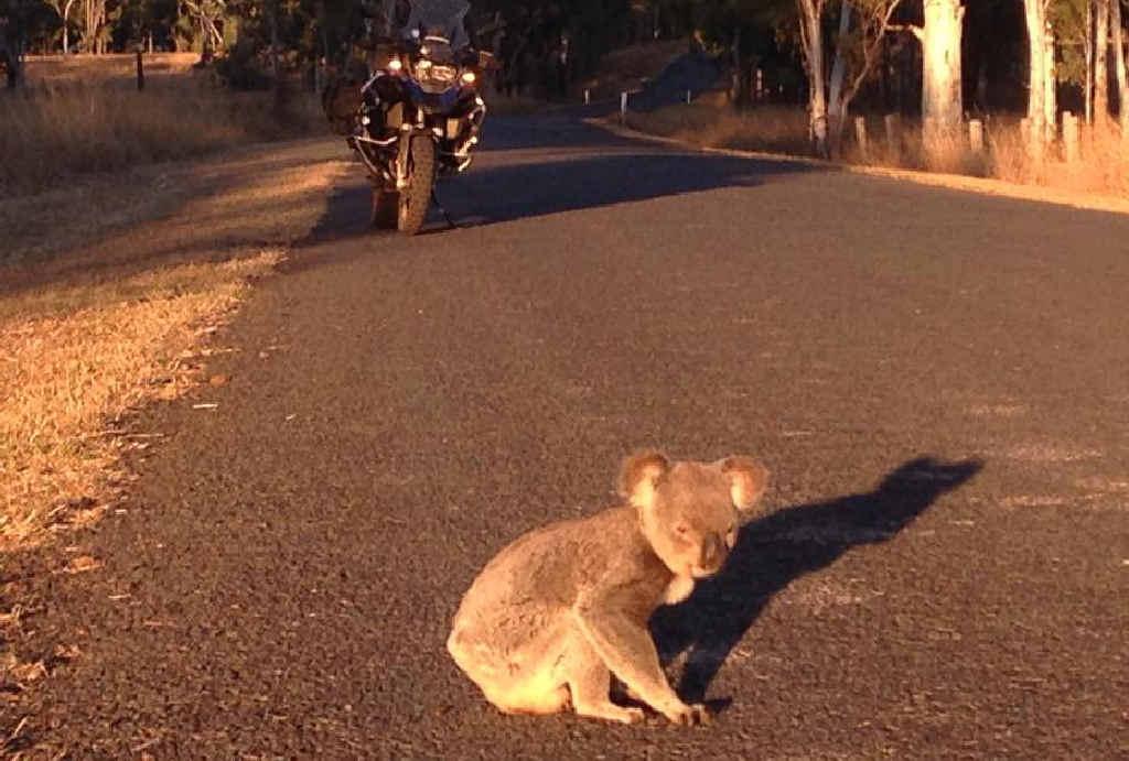GOING MY WAY? Noosa's Karl May met this koala on the highway near Murgon.
