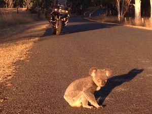 YOUR STORY: The case of the curious koala in highway trip