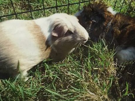 These two female guinea pigs have been stolen from Miriam Vale State School.