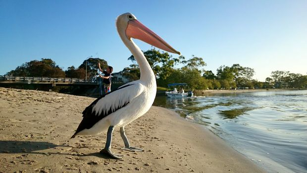 Good Morning Maroochy River. Pelican on the bank of Maroochy River. Photo: Che Chapman / Sunshine Coast Daily