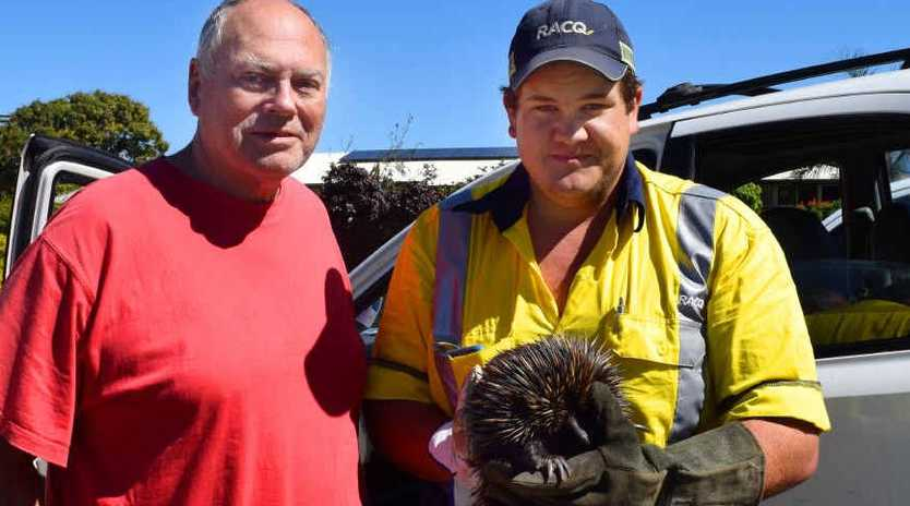 WILD RESCUE: Joe Bonnell and Issac Mills from RACQ Yeppoon hope they don't have to endure rescuing an echidna from the dashboard of a car again but were happy to have the echidna freed. INSET: The 3.1kg male echidna under the deconstructed dashboard of Joe's car.