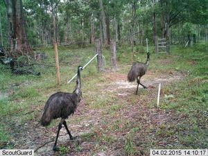 Emus choose their highway crossing points