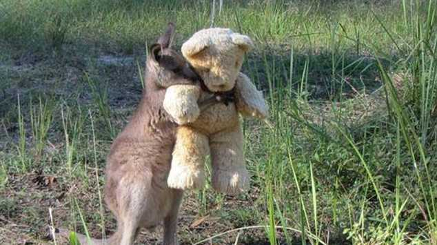 Doodlebug the eastern grey kangaroo hugging his teddy. Taken and posted to Twitter by Tim Beshara on Tuesday.