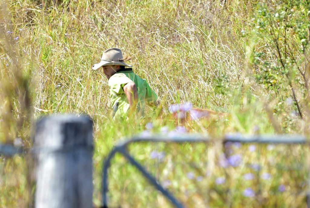 A young farmer is chased through scrub by a mad cow near the intersection of Eudlo Flats Rd and Maroochydore Rd.