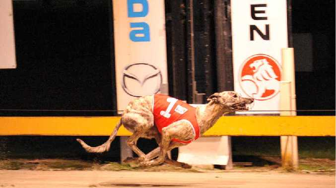 ALMOST A SURE THING: Sassy Ziva will be running in Race 2 tonight as the favourite ahead of a strong pack. Photo: Robert Brandolini