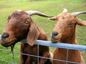 Stray goat terrorises Toowoomba street