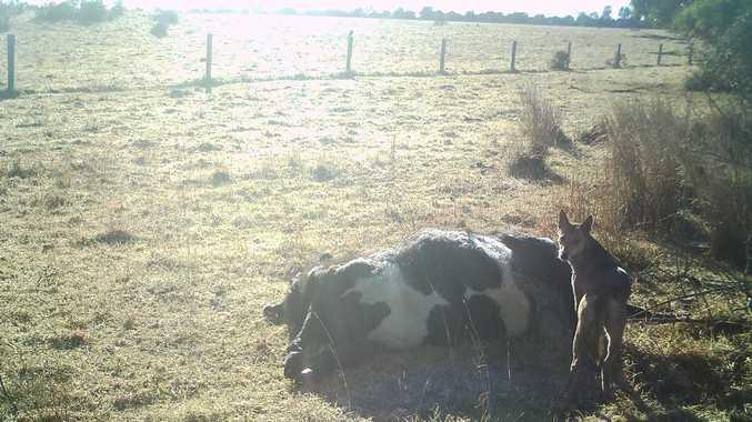 Glenn Douglass found this Heifer still warm after a wild dog attack. Contributed
