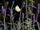Di Lymbury's lavender photo.