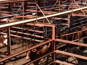 Prices turn around at Warwick Cattle Sale