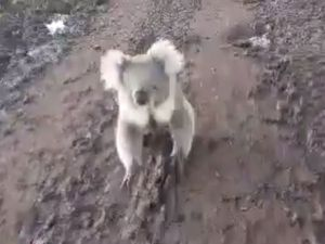 VIDEO: Crazy koala chases woman on quad bike