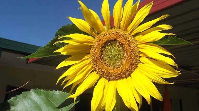 SUNNY FACES: A home-grown sunflower.