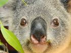 Politicians should act now to protect koala habitat