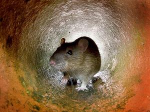 Rat chews ear of sleeping 9-year-old