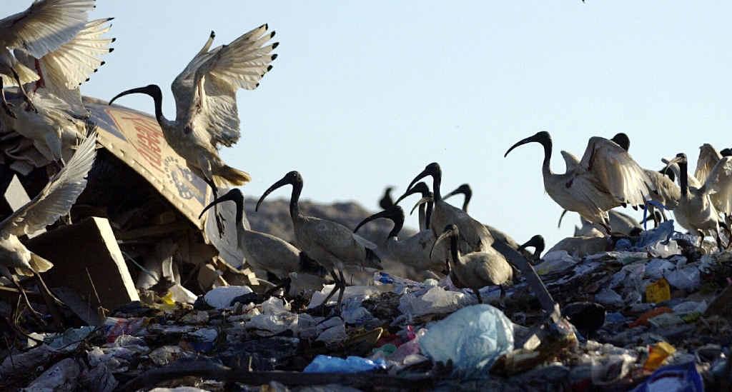 BORN SURVIVORS: A flock of ibis at the Buderim dump.