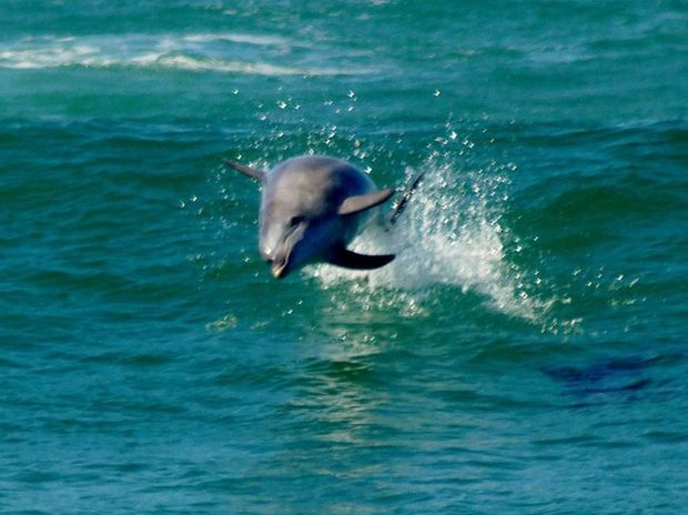 Dolphins surfing at the South Wall, Ballina, on Sunday.
