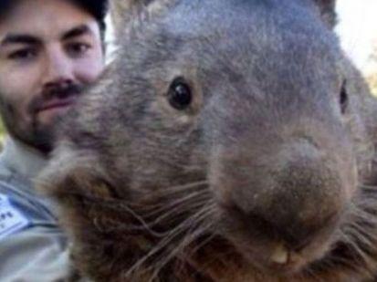 Patrick the wombat's Tinder photo.