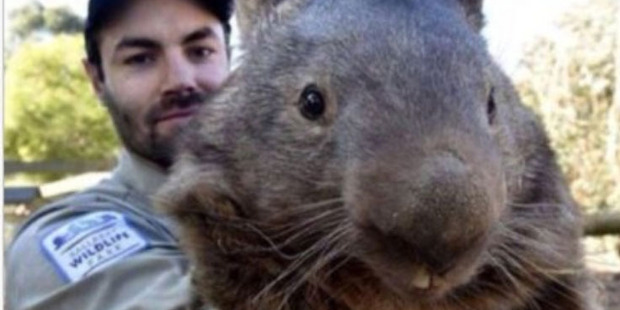 Patrick the wombat's Tinder photo.