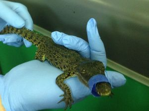 Crocodile Dumb-Dee tries to smuggle baby saltie
