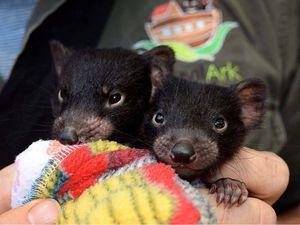 Cute little devils brighten day for children at Lismore