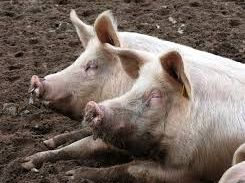 The pigs, whose thighs and buttocks are being sold as