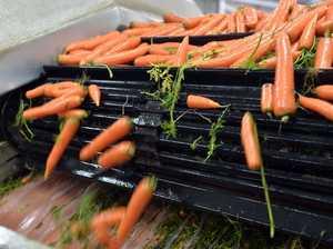 Carrot harvest at Kalfresh