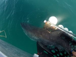 VIDEO: Great white shark bolts after tagging by scientists