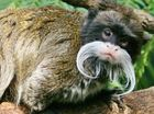 BACHELOR BOY: Gomez the Emperor Tamarin in his single days before the responsibility of a family.