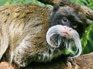 Moustache monkeys a hit at zoo