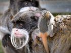 Queensland Zoo has welcome two its latest royals after birth of twin emperor tamarins. Photo Patrick Woods / Sunshine Coast Daily