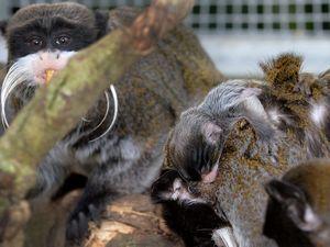 Baby monkeys at Queensland Zoo