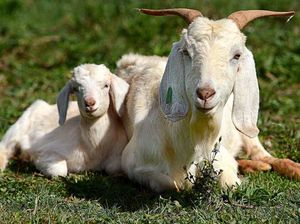 Cold start to spring, but here's a pic of a baby goat - awww