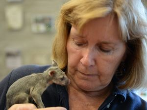 Surrendered possum's burns and bites cared for