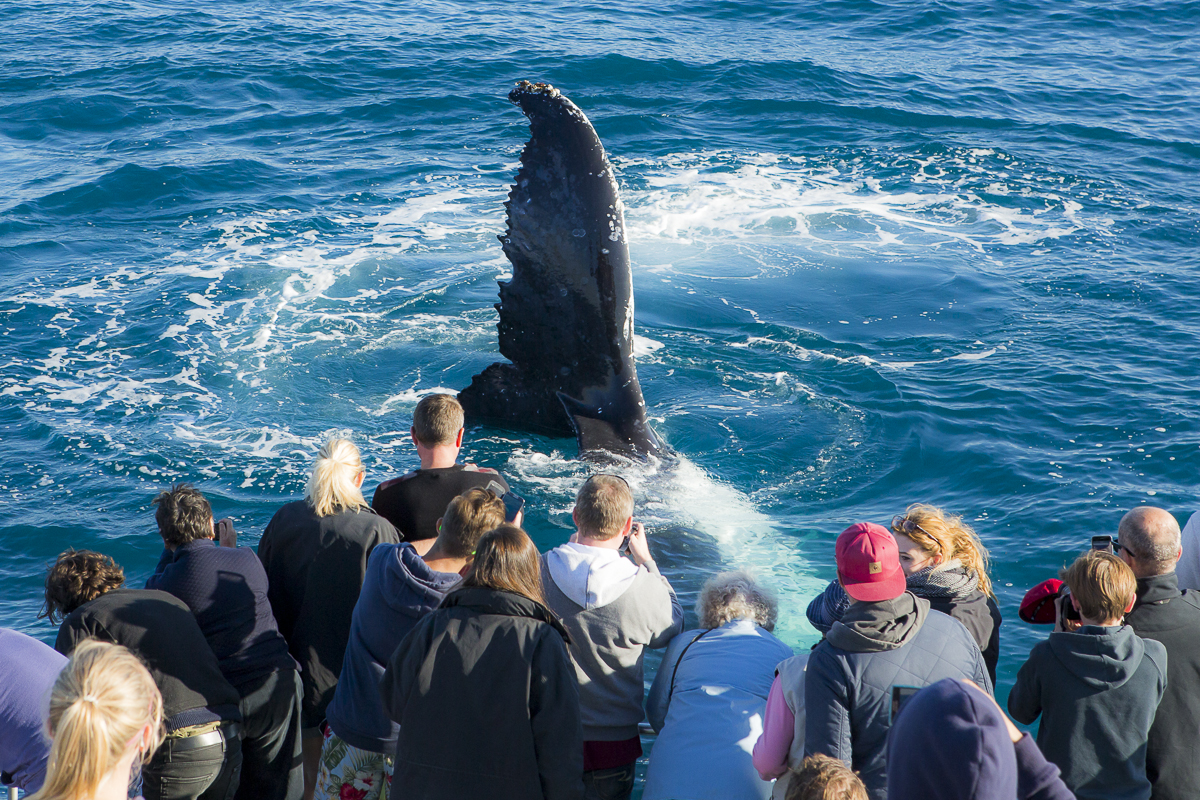 A humpback hovers near a crowd of curious onlookers. It's part of the guaranteed whale sightings in Hervey Bay.