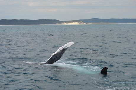 A humpback whale performs a pectoral slap with Fraser Island in the background.