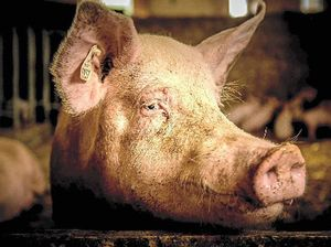 Producers admit to 'free range' pig failing