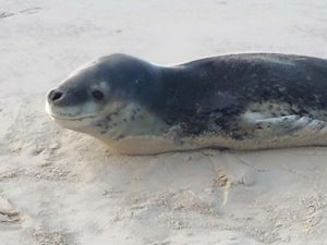 Antarctic leopard seal at Shelly Beach, Ballina