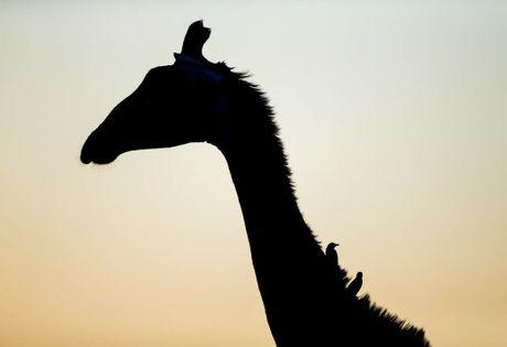 Giraffe silhouette Africa.