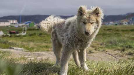 Icelandic dog.