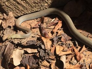 Snakes on the move across the Darling Downs