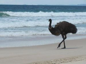Bribie residents devastated after iconic emu attacked