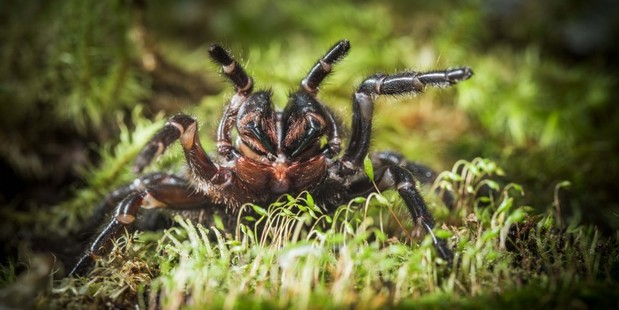 Scientists have discovered a new species of funnel-web spider. Photo / Australian National University