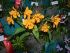 A display of orchids at the Maryborough District Orchid Society's Spring Orchid Show.