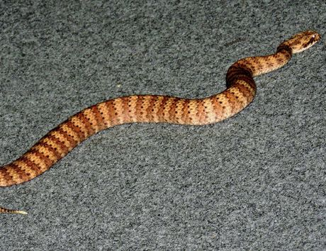 EASILY IDENTIFIED: Tiger snakes have very obvious markings.