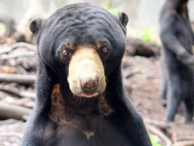 STANDING TALL: Sun bear Johnny now is a busy boy with a harem of three girlfriends.