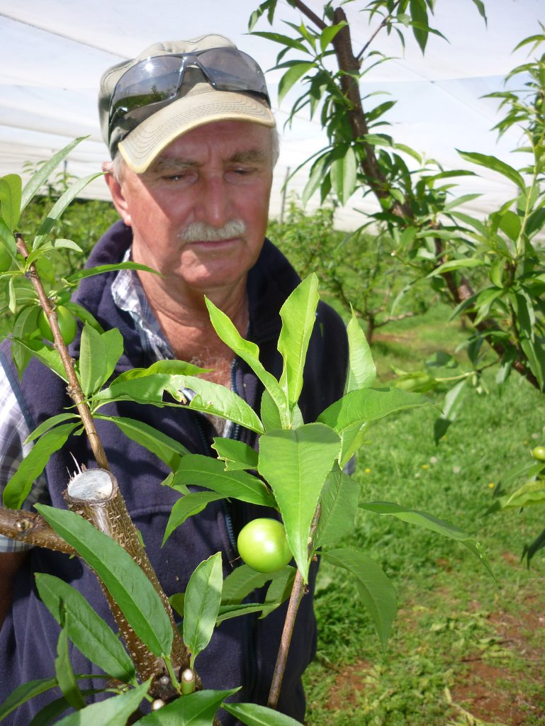 Rous orchardist Rod Thomson with an emerging nectacot - a cross between nectarine and apricot that promises a powerful flavour experience. Photo Jamie Brown / Northern Star