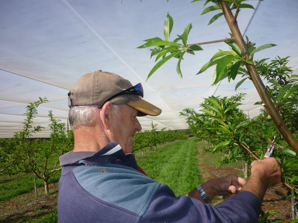 Veteran stone fruit grower Tony Ratley pruning excessive growth on nectarine trees in Rod Thomson's orchard - which Tony owned at one point in ther 1990s. Photo Jamie Brown / Northern Star