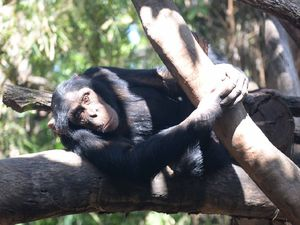 VIDEO: Baby chimpanzee plans in future for Rockhampton Zoo